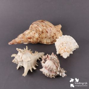 schelpen conch bursa spinosa decoratie zee